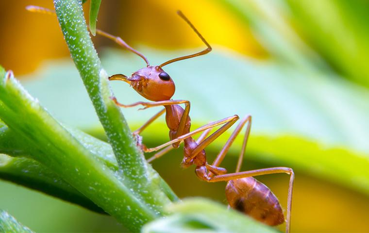 fire ant on a plant stem