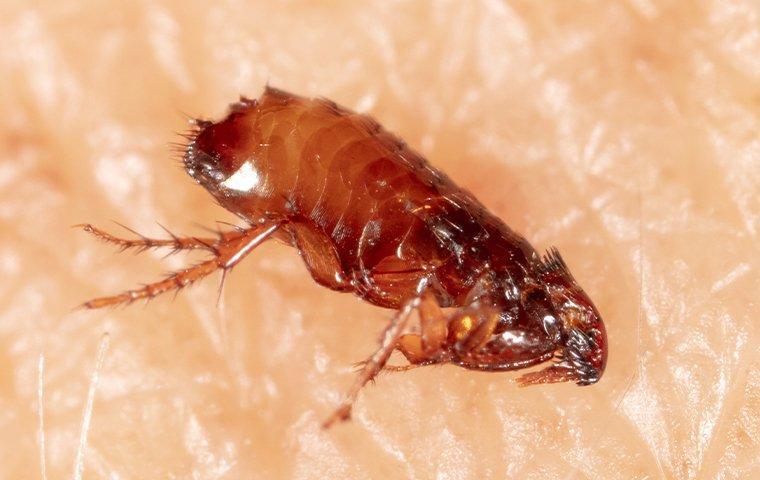 flea jumping on skin