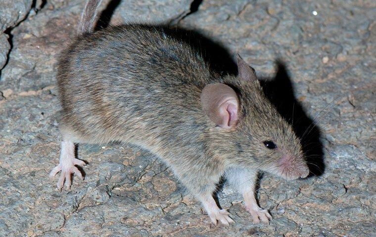 a house mouse crawling on a basement floor