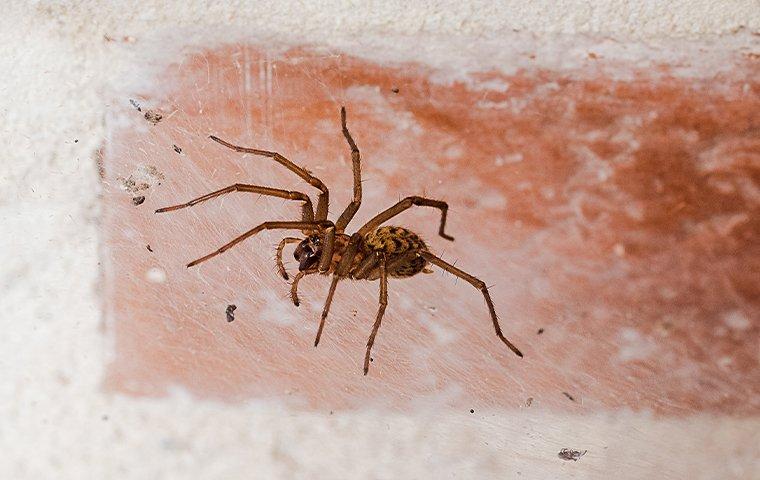 house spider on bricks