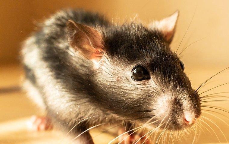 a rat on wooden floor