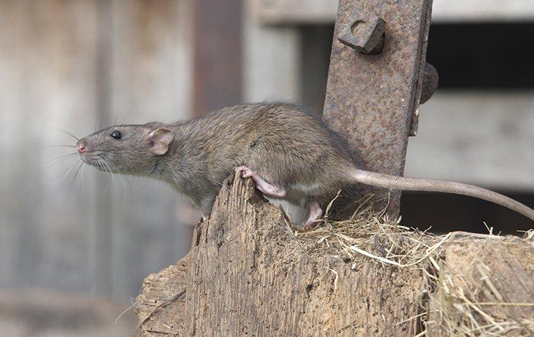 a norway rat on a piece of wood in a garage