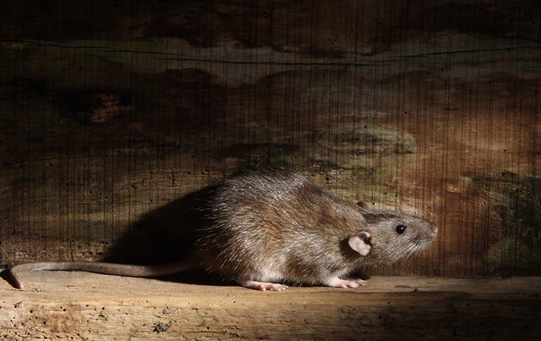 a norway rat in a home basement