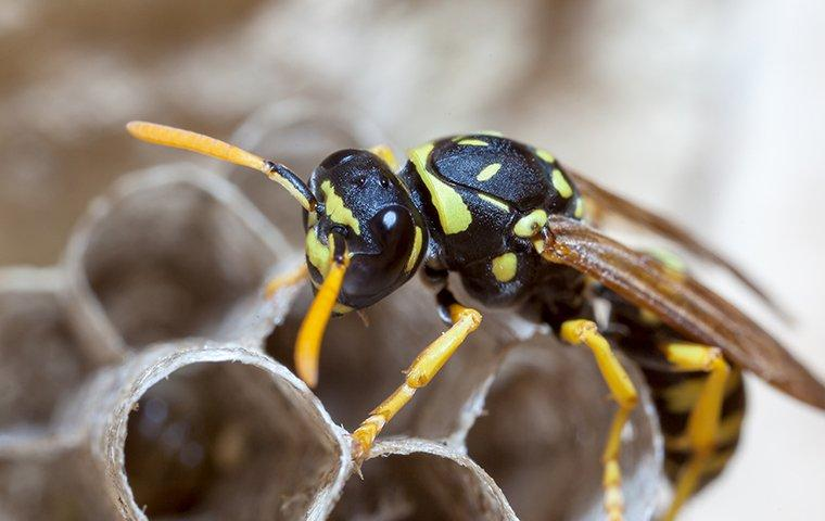 paper wasp crawling on its nest