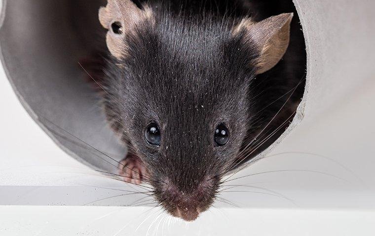 a rat in a kicthen