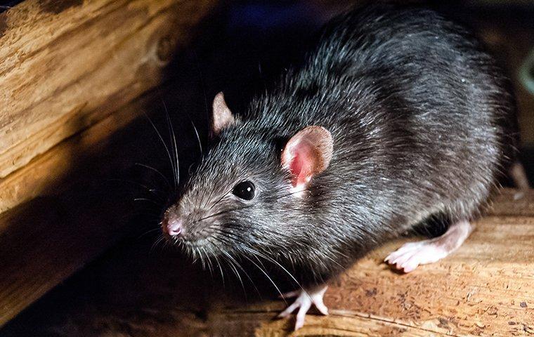 a roof rat crawling through an attick floor