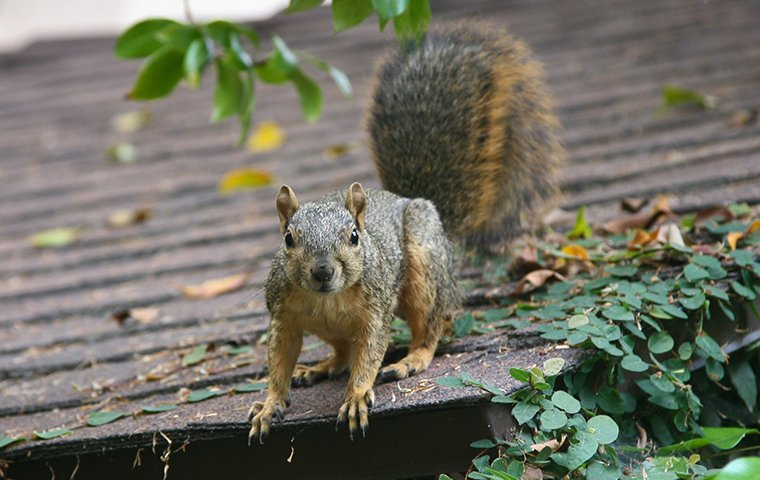 a squirrel on the roof of a home