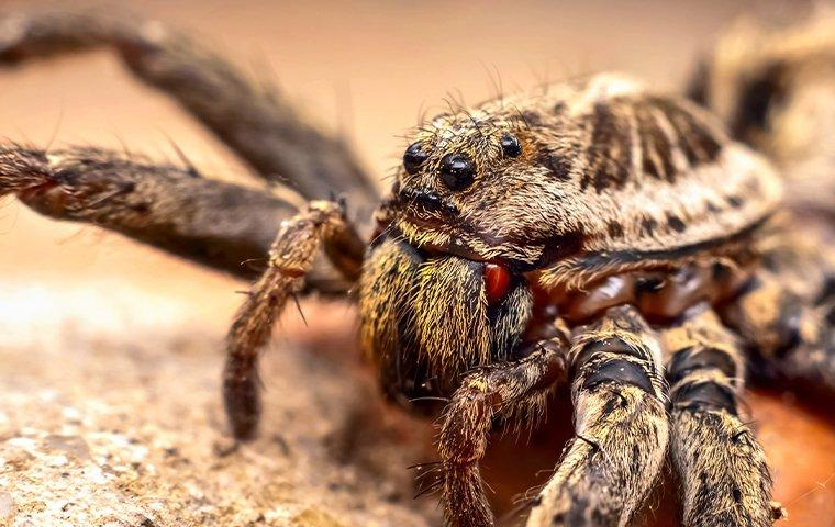 a close up look of a wolf spider on the ground