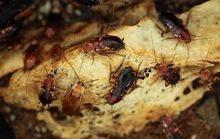dozens of cockroaches crawling on bread
