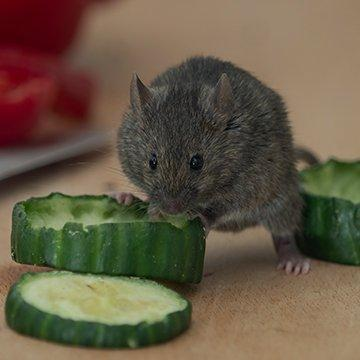 a rat eating a cucumber