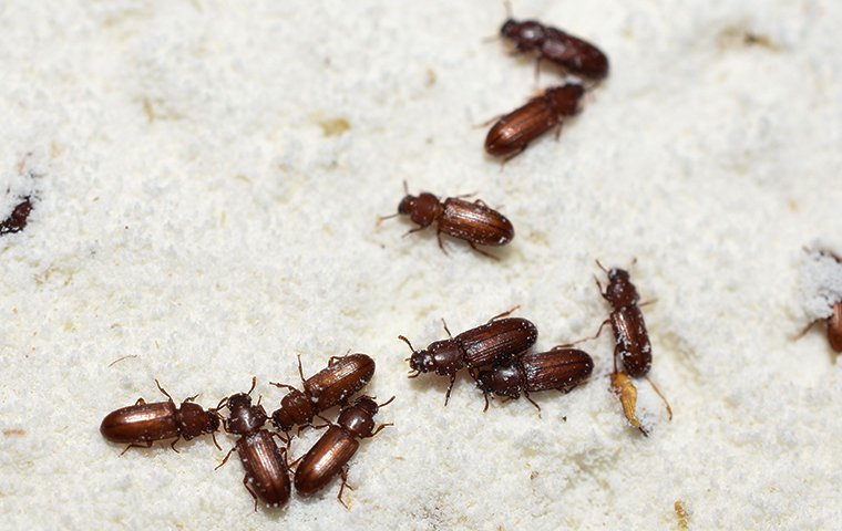 many confused flour beetles crawling in flour