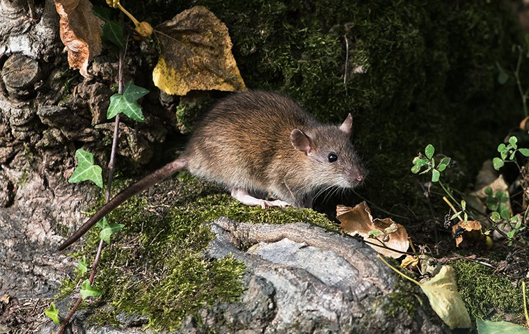 a large rat outside of a home