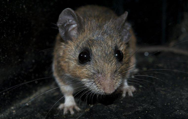 a rodent trapped in a pest control trap