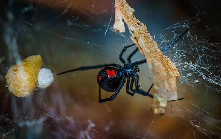 a black widow spider hanging on its web