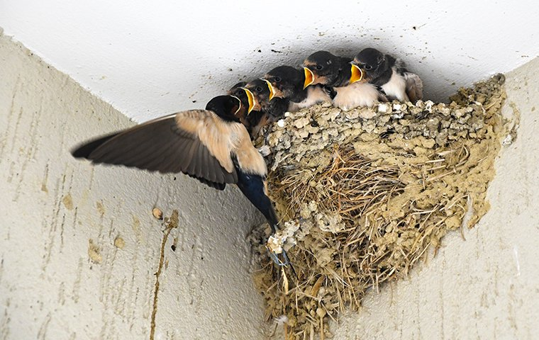 a mother swallow feeding her babies