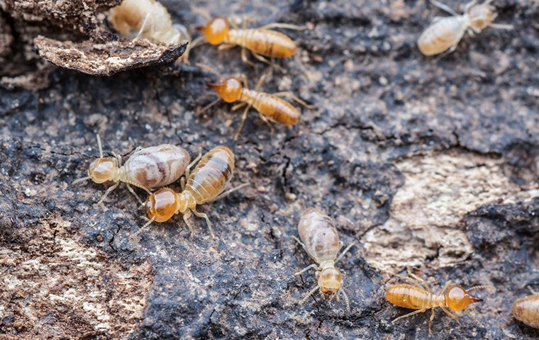 several termites crawling on ruined wood