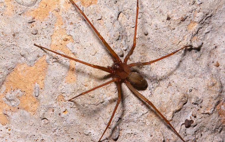 a brown recluse spider in its natural habitat