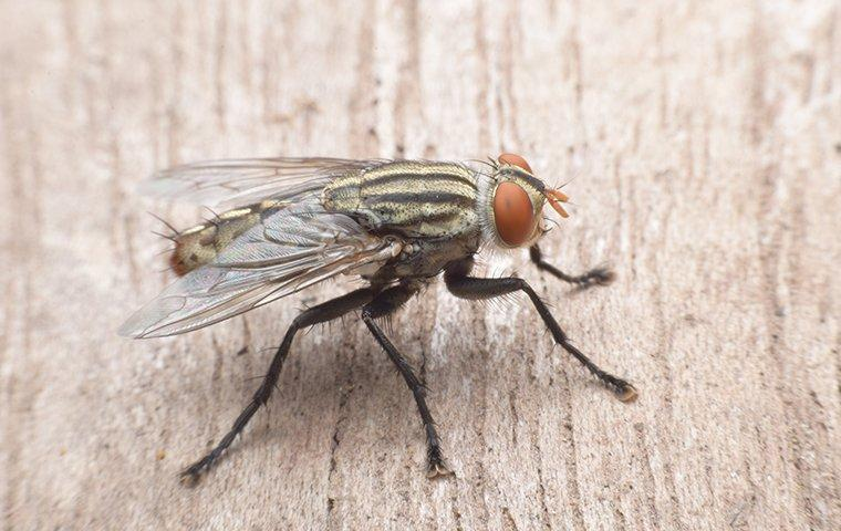 house fly standing on wood in home