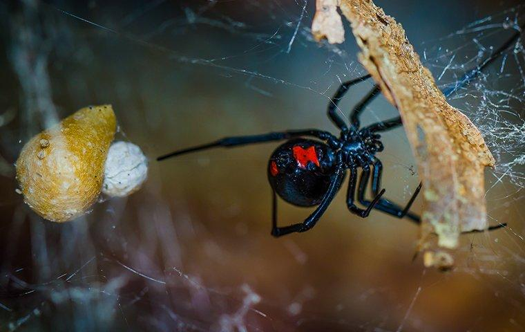 a black widow spider crawling on a web inside of a home in beaumont california