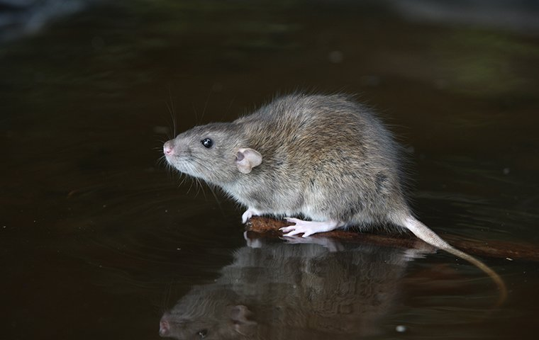 a rat on a surface inside of a home in murrieta california
