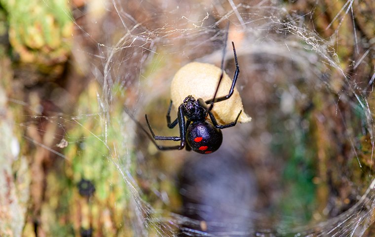 a black widow spider hanging from a web inside of a home in beaumont california