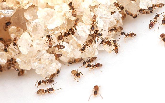 ant crawling on sugar