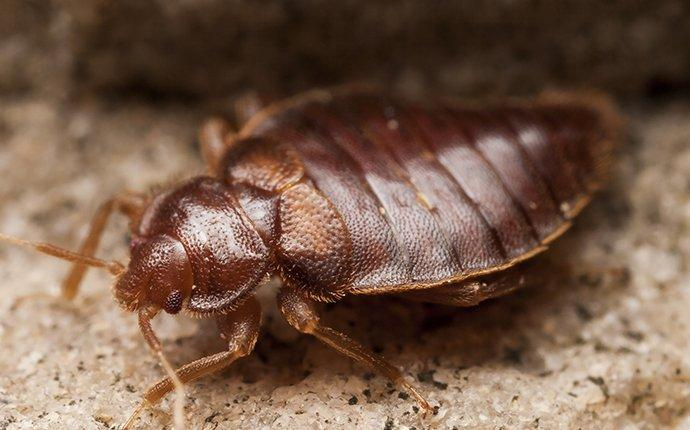 up close image of a bed bug crawling in a bedroom