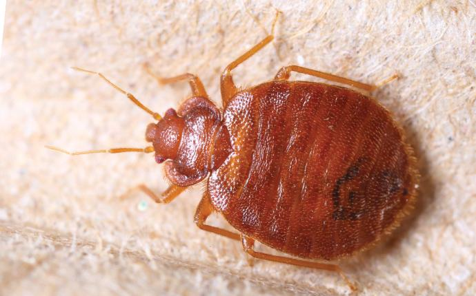up close image of a bed bug on a mattress