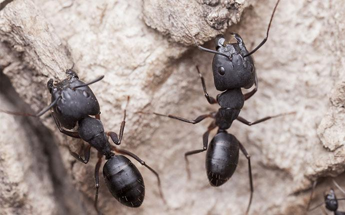 two carpenter ants up close