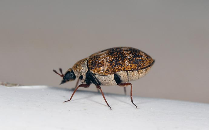 a carpet beetle in a house