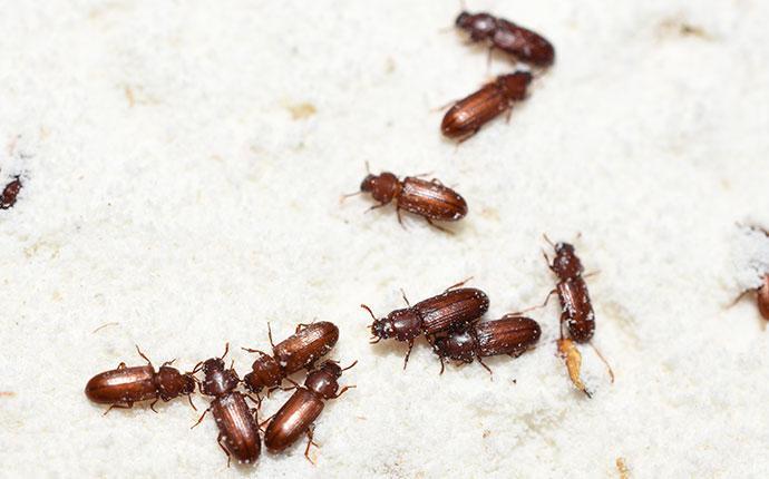confused flour beetles in flour