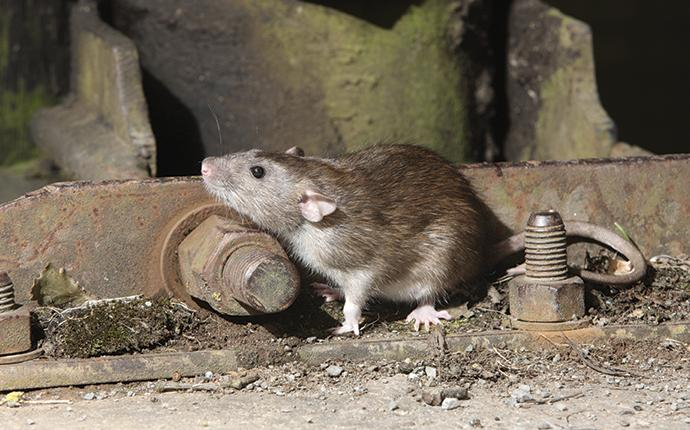a norway rat near a piece of metal equipment