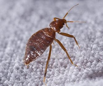 a bedbug on a boxspring