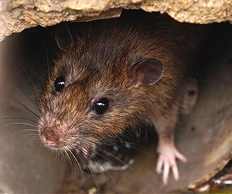 a brown rat in a pipe