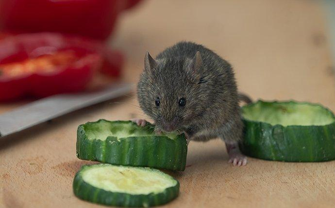 house mouse eating food in a brier kitchen