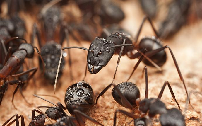close up of carpenter ants