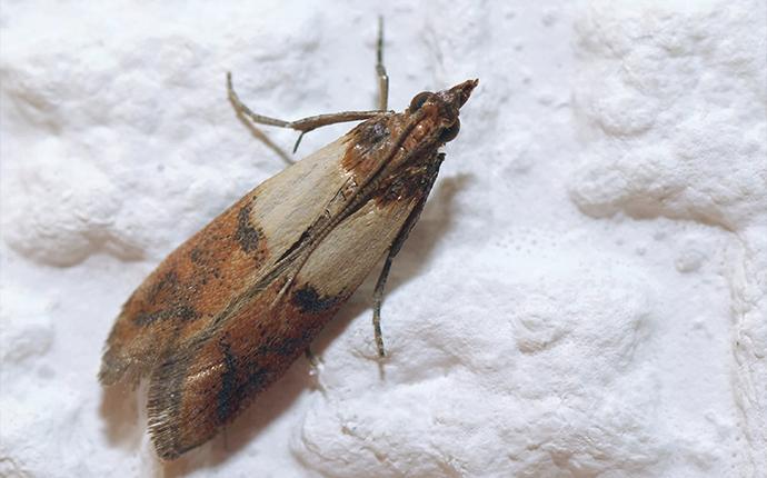 an indian meal moth on flour
