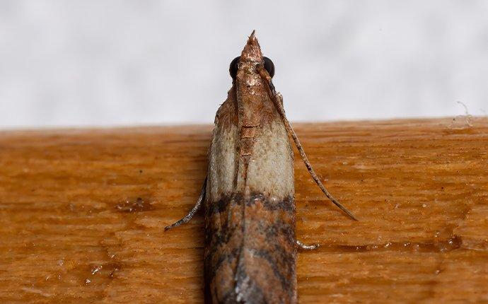 an indian meal moth inside of a pantry