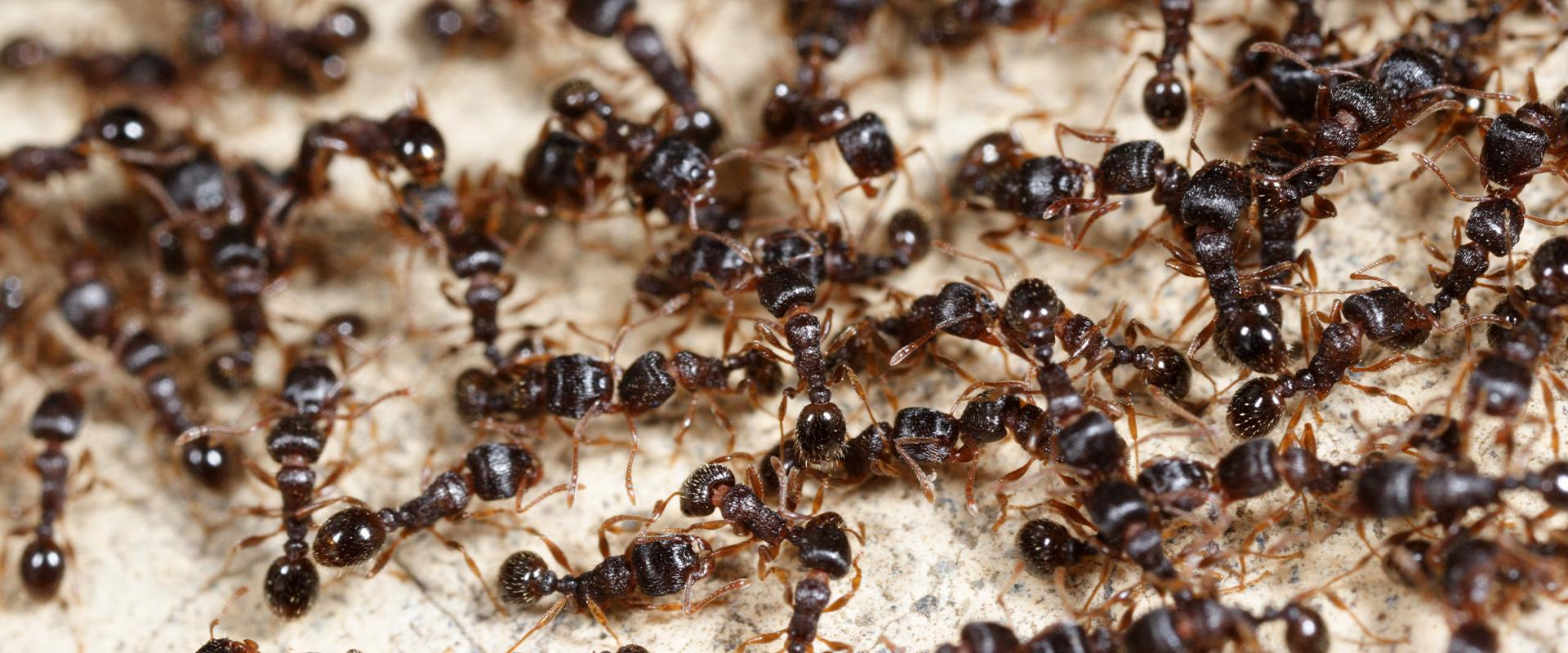 close up of black ants