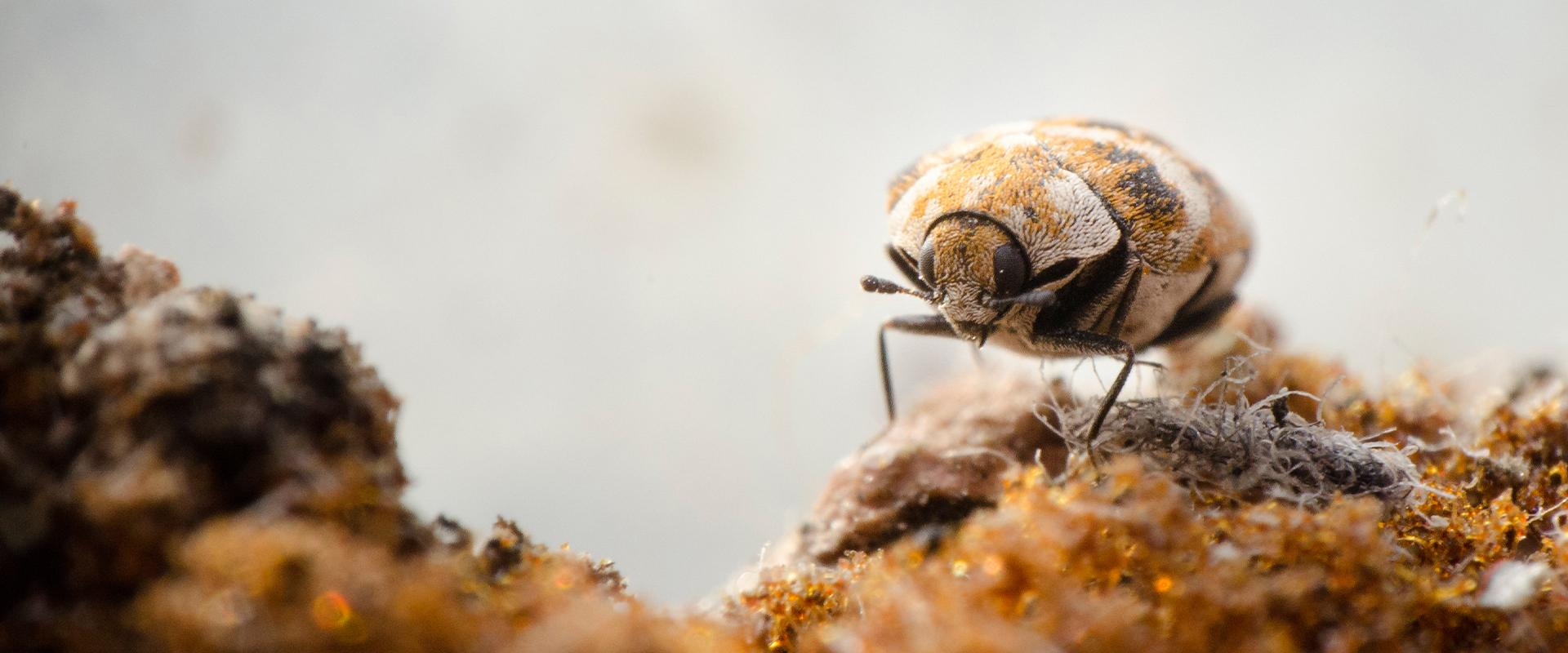 a carpet beetle on dirt