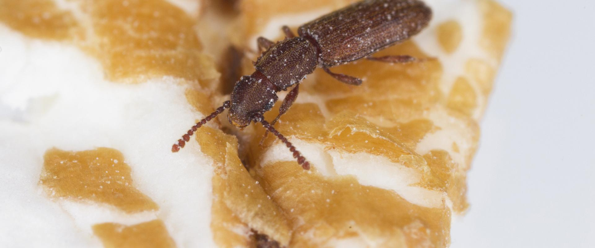 a flour beetle on pastry crumbs