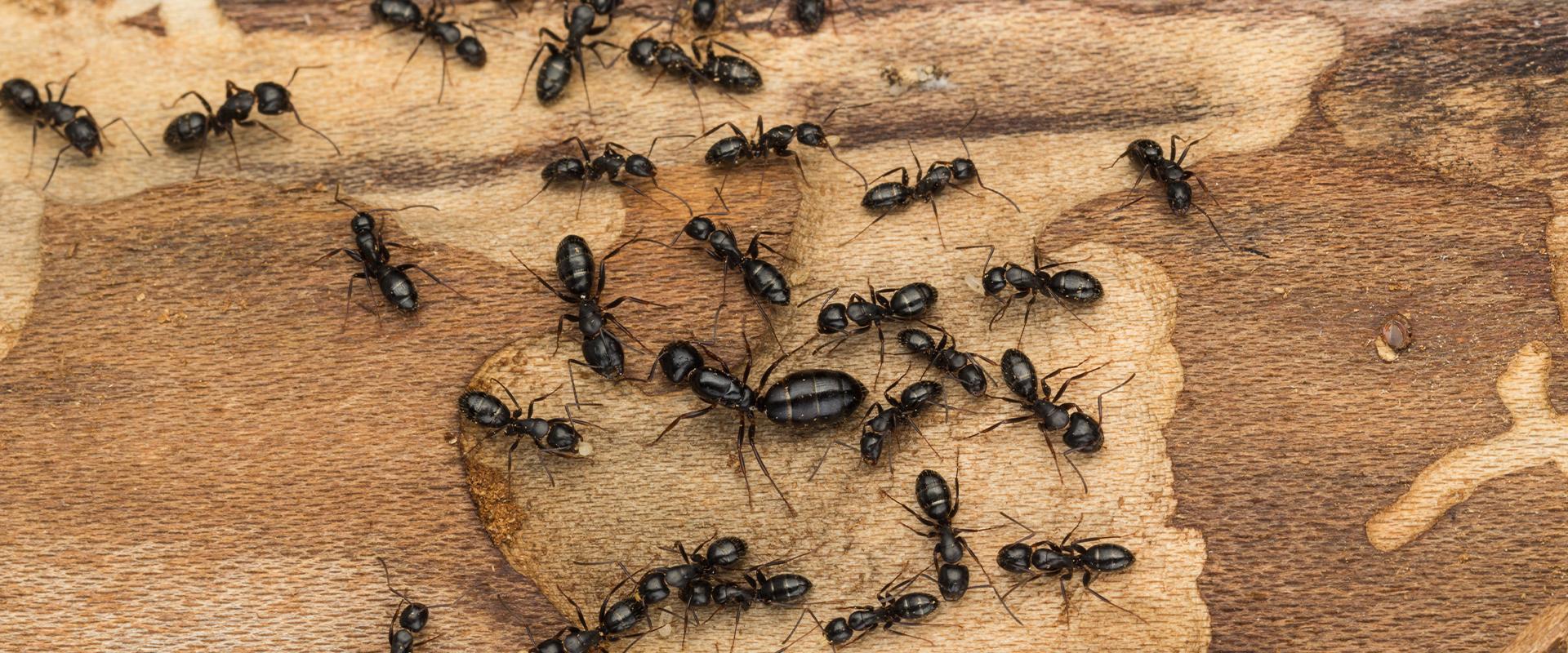 black ants on wood