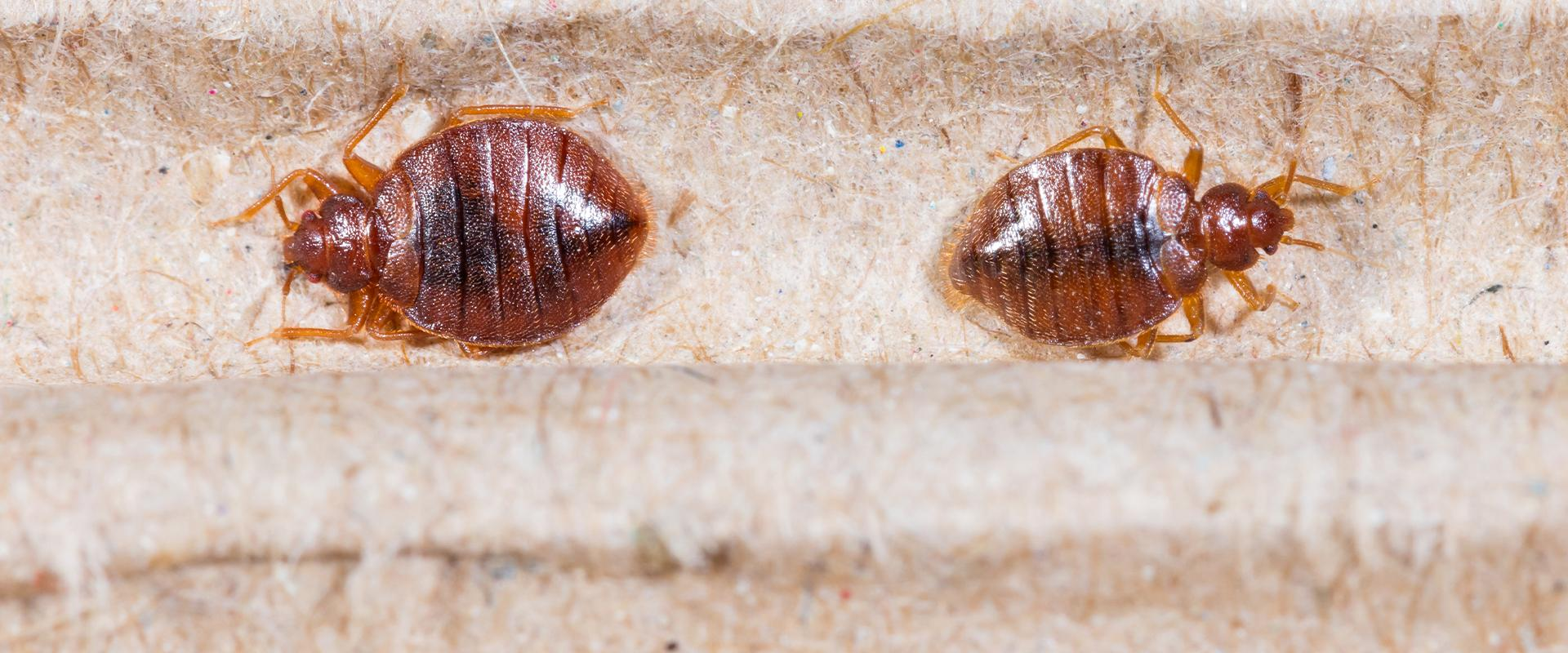 bedbugs on a mattress frame