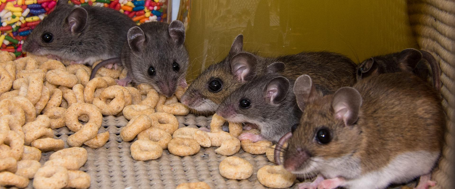 rodents eating cheerios in pantry