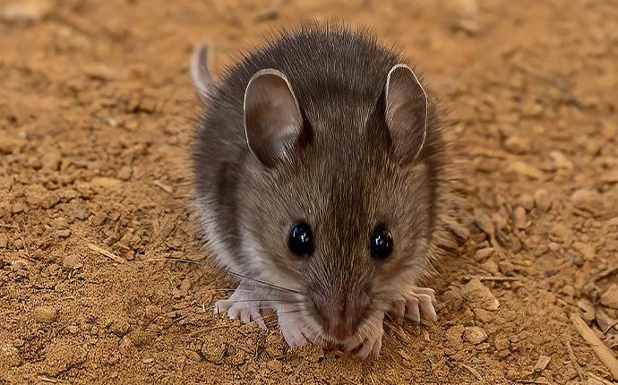 a mouse on the dirt
