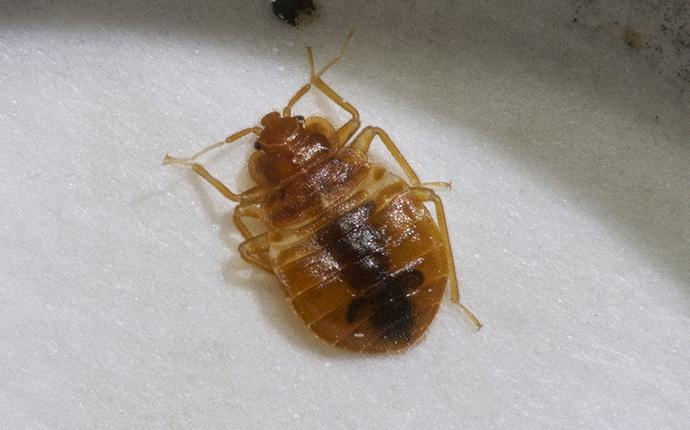 a bedbug on white cement