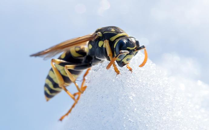 paper wasp crawling on snow