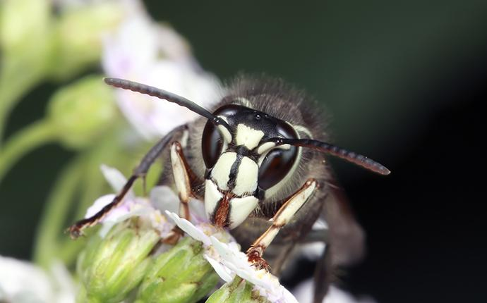 bald faced hornet on a flower