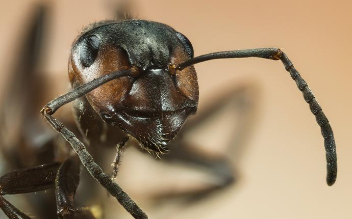 close up of black ant