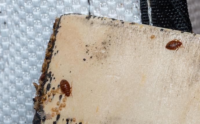 bedbug on baseboard